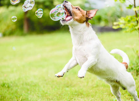 Funny domestic dog playing with soap bubbles on back yard lawn on sunny summer day