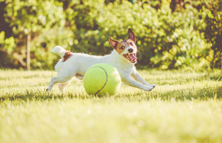 Happy dog with huge toy tennis ball playing and running on back yard lawn on hot summer day Stock fotó