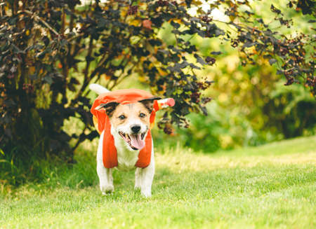 Back to school funny concept with dog carrying orange backpack full school stationery