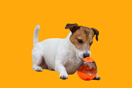 Pet enrichment concept with a dog playing with an egg-shaped sniffing toy Stock fotó