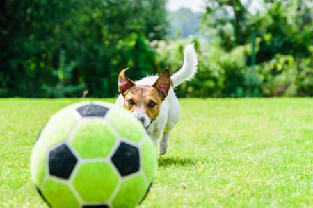 Dog chasing football (soccer) ball playing at backyard lawn Stock fotó