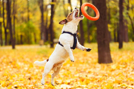 Pet dog jumping high to catch circle toy playing outdoor in park on warm October autumn day