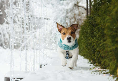 Dog walking around backyard decorated for winter holiday season with LED lamps garland Stock Photo