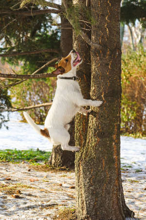 Mischief dog chasing squirrel jumping high at tree and barking on sunny winter day