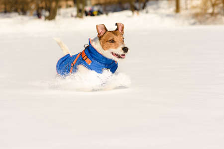 Happy active dog in warm coat running in snow playing in park on sunny winter day