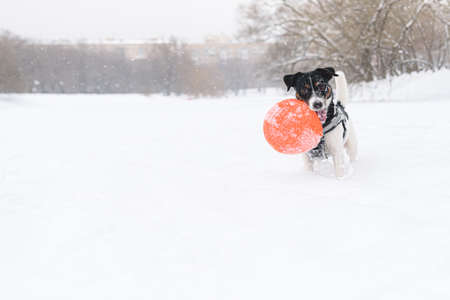 Hilariously funny dog playing with rubber flying disc on ice of pond on snowy winter day