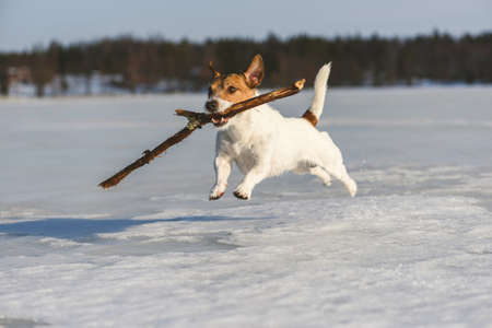 Happy dog playing with wooden stick outdoors on ice of frozen lake in Central Finland on winter day