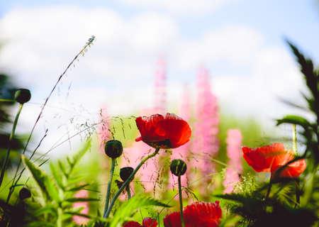 Cultivated poppy flower on flowerbed in garden
