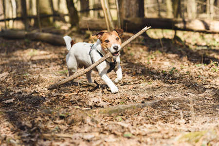 Dog playing fetch with wooden stick in spring forest on sunny warm day