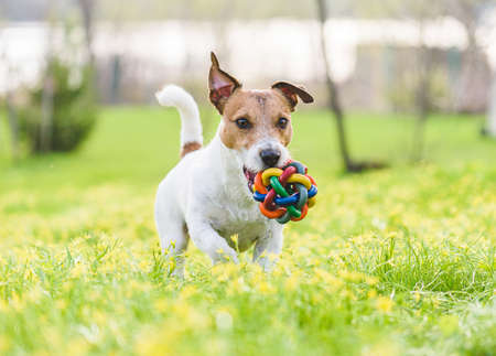 Family pet dog playing with colorful toy on spring lawn in flowers