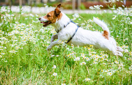 Happy active dog running and playing in daisy flowers on sunny hot summer day 免版税图像