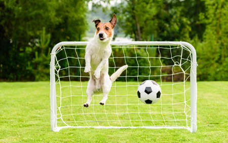 Jumping dog as funny goalie can't save goal and misses football (soccer) ball