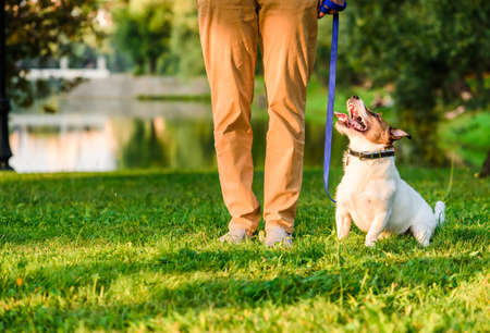 Dog owner at pet obedience training in park handling Jack Russell Terrier to walk on loose leash 免版税图像