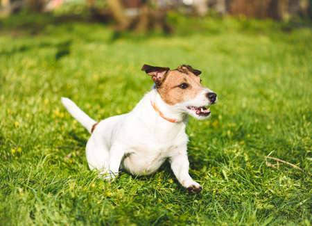 Happy active dog wearing collar for anti tick and flea treatment running and playing in fresh spring grass on sunny day
