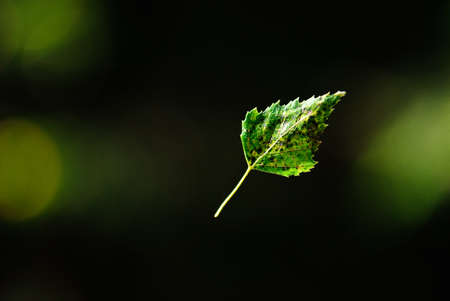 Falling down birch leaf flying and spinning in air 免版税图像