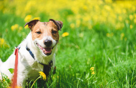Happy senior dog walking on leash on sunny spring day in meadow green grass and flowers