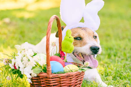 Easter eggs in basket and dog with bunny ears as Easter eggs hunt concept