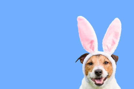 Happy dog as Easter bunny on solid color background as spring holiday concept