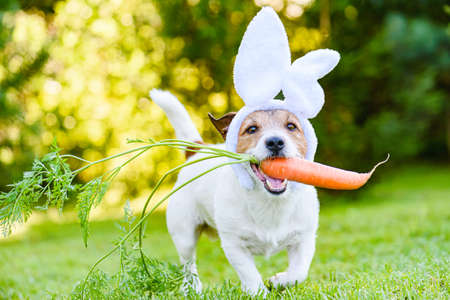 Dog with carrot wearing bunny ears headband as humorous Easter rabbit