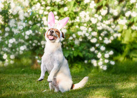 Easter holiday concept with dog wearing rabbit ears sitting in front of blossoming flowers 免版税图像