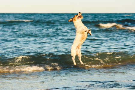 Happy dog jumping high playing at sea beach