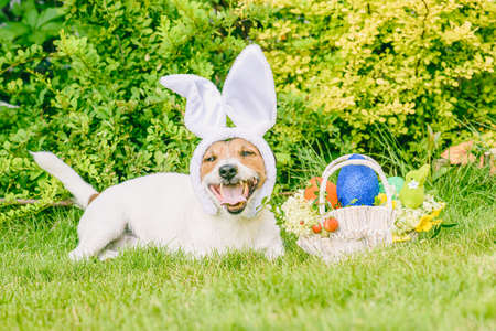 Happy dog wearing bunny ears as Easter animal concept 免版税图像