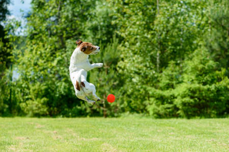 Active dog jumping to catch ball exercising at backyard lawn on sunny summer day 免版税图像