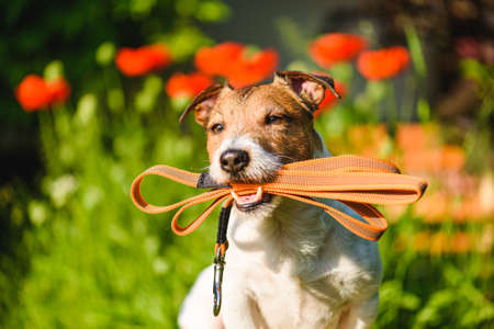 Dog sitting outside with lead in mouth ready for walk on bright sunny day Stock fotó