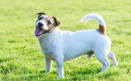 Happy smiling Jack Russell Terrier pet dog standing on green grass lawn on hot sunny summer day 免版税图像