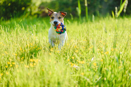 Happy pet dog playing fetch game with toy ball at meadow within summer flowers and high grass on bright sunny day