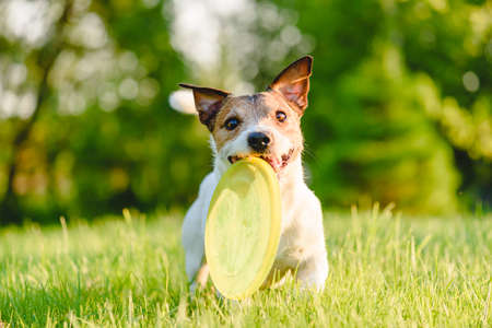 Happy dog playing fetch game with plastic flying disc durable for canine teeth and puncture resistant on summer day 免版税图像
