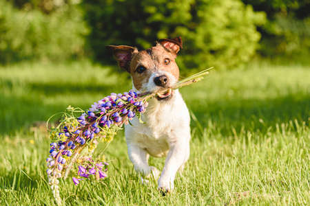 Adorable dog fetches summer flowers bouquet made of lupines running on green grass lawn on sunny day