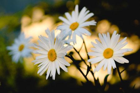Camomile flower on flowerbed on summer day in garden
