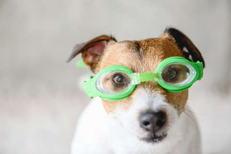 Funny dog wearing swimming glasses ready to dive underwater in pool