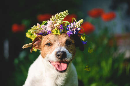 Summer beauty concept with happy dog wearing wreath of summertime flowers on head 免版税图像