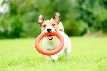 Happy smiling dog fetches ring puller toy on green grass lawn on summertime day