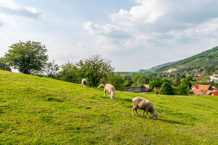 Four Sheep Grazing Grass on a Hill nearby Devin Castle with Picturesque Landscape and Blue Cloudy Sky Imagens