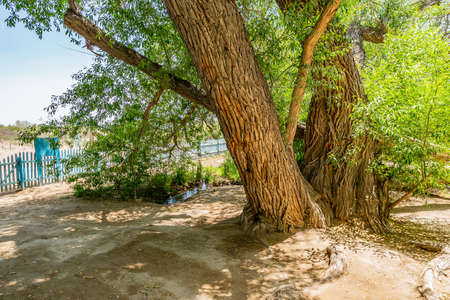 Altyn Emel National Park Breathtaking Picturesque View of the 700 Year Old Willow Tree on a Sunny Blue Sky Day Reklamní fotografie