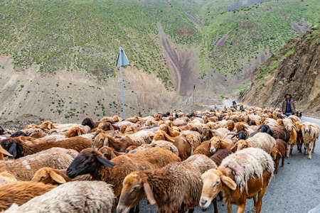 Ayni Anzob Pass from Dushanbe to Khujand Sheep Herd is Blocking the Highway and Passing through on a Cloudy Rainy Day Фото со стока