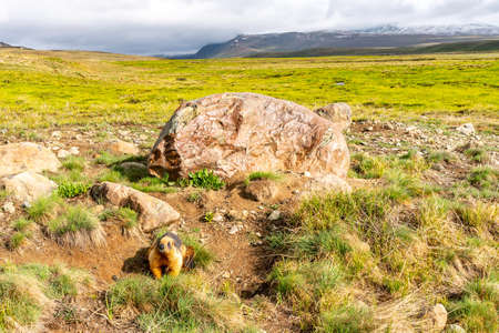 Deosai National Park Picturesque Breathtaking View of a Snoopy Marmot on a Sunrise Blue Sky Day