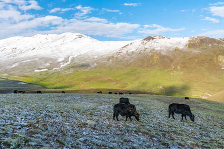 Deosai National Park Picturesque Breathtaking View of Yak Herd with Snow Capped Mountains on a Sunrise Blue Sky Day