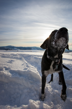 coldly: dog playing in snow