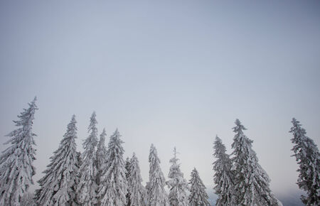 conifer trees in winter in black forest photo