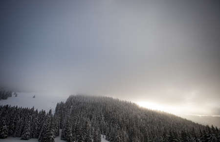 conifer trees in winter photo