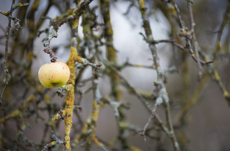 chilled out: apple on tree in winter