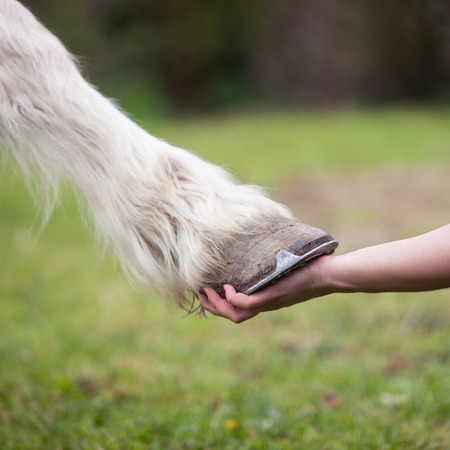 hand of girl holds hoof of white horse Фото со стока