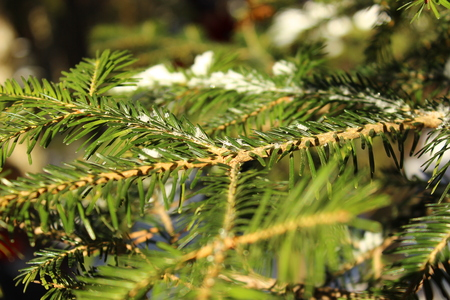 Green fir branch with snow small Christmas trees Stock Photo