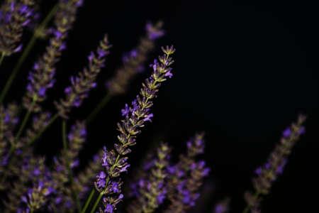Bush of lavender closeup