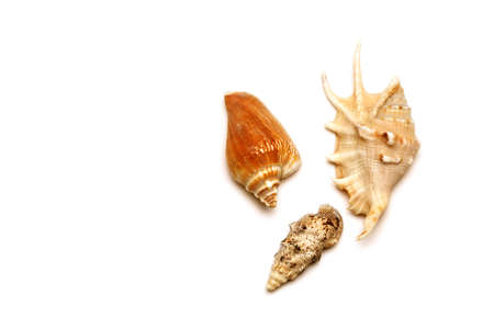 Sea shell with white background Stock Photo