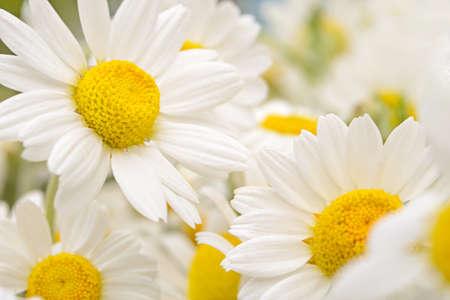 Beautiful bouquet of chamomile, background.